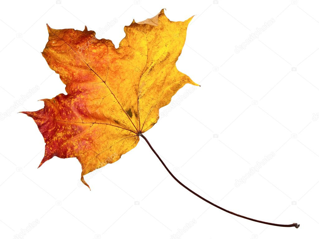 Single autumn maple leaf against the white background — Stok fotoğraf #2794158