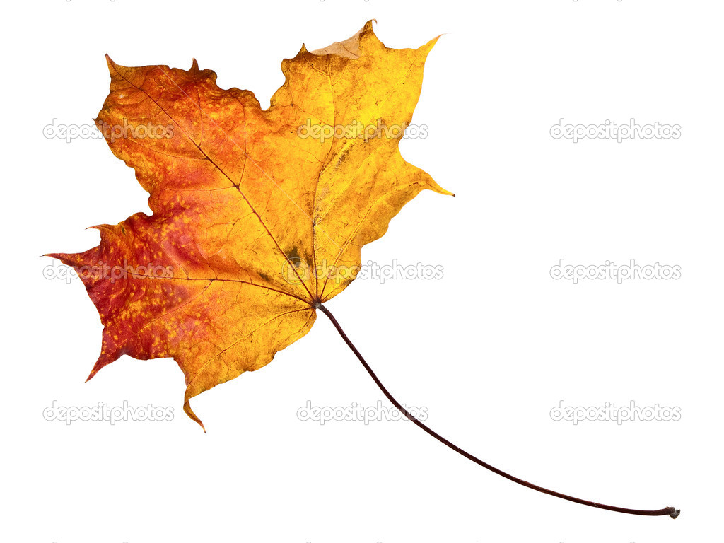 Single autumn maple leaf against the white background — Foto Stock #2794158