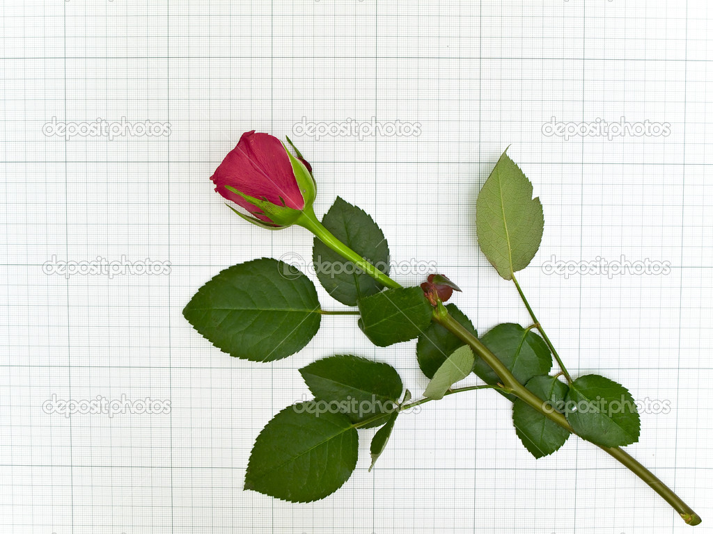 Single red rose at the plotting paper — Stock Photo #2795762
