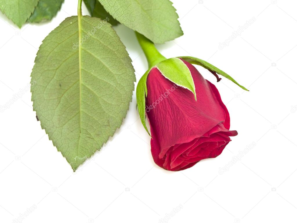 Single red rose at the white table  Stock Photo #2795850