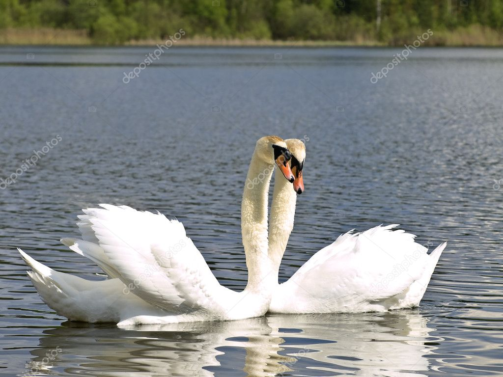 Two white swans at the blue lake — Stock Photo #2796657