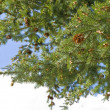 Stock Photo: Pine tree strobile