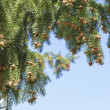 Stock Photo: Branch of pine tree