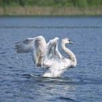 Fly up yang swan — Stock Photo