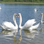 Swans in love — Stock Photo #2952858