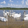 Swan colony — Stock Photo