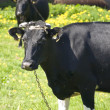 Cow — Stock Photo #2953019
