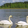 Two swans — Stock Photo #2953319