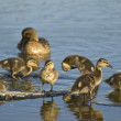 Duck and little ducklings — Stock Photo