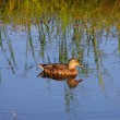 Duck at the lake - Stock Photo