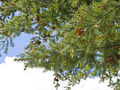 Pine tree strobile — Stock Photo