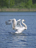 Létat se jang labuť — Stock fotografie