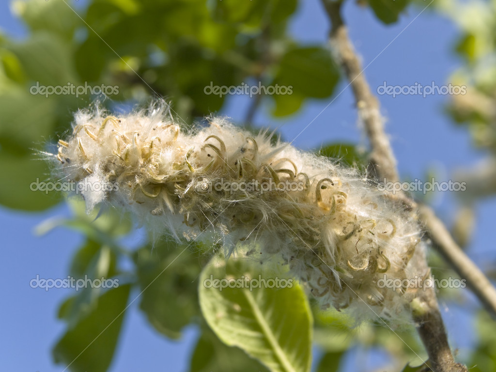 Summer cottonwood fluff blossom at the brunch against the blue sky  — Stock Photo #2953380