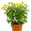 flower in pot — Stock Photo