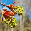 Maple flowers - Photo