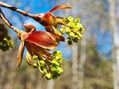 Maple flowers — Stock Photo