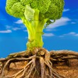 Broccoli tree - Stock Photo
