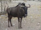 Blue wildebeest portrét. antilope gnu — Stock fotografie