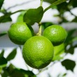 Three green lemons — Stock Photo