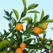 Kumquat tree — Stock Photo