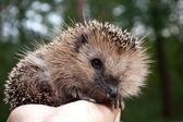 Hedgehog on a palm — Stock Photo