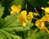 Yellow flowers, greater celandine — Stock Photo