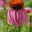 Постер, плакат: Purple Coneflower