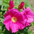 Dog-rose flowers - Stock Photo