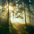 Sun beams showing through a pine forest. - Stock Photo
