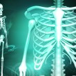 Skeleton and human rib - Stockfoto