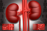 Human kidney — Stock Photo