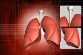 人类的肺 — 图库照片