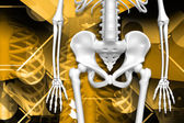 Digital illustration of human pelvis and skeleton in color background — Stock Photo