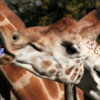 GIRAFFE — Stock Photo #3194760