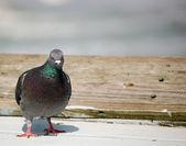Bird with an attitude - Presentation Background — Stock Photo