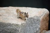 Chipmunk begging for food — Stok fotoğraf
