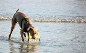 Brown dog playing fetch on the beach — Stock Photo