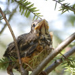 Stock Photo: Baby Bird - Puffy