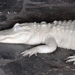 Alligator Albino — Stock Photo #4595272
