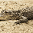 Alligator resting - Stock Photo