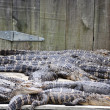 Sleeping Gators — Stock Photo #4600322