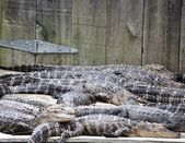 Sleeping Gators — Stock Photo
