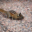 Stock Photo: Chipmunk poses on boulder