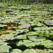 Pond with lilies — Stock Photo