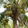 Palm with coconuts — Stock Photo