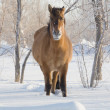 Horse on snow — Stock Photo