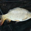 Stock Photo: European carp - Cyprinus carpio