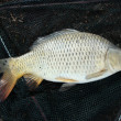 European carp - Cyprinus carpio — Stock Photo