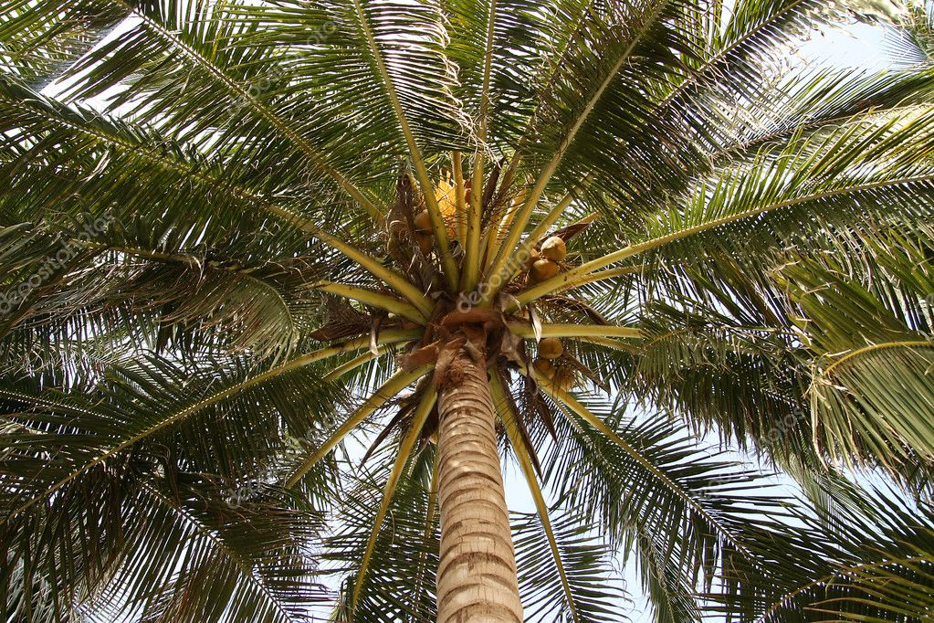 Coconut palm, for a blue sky, in Thailand. — Stock Photo #3016491