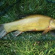 Stock Photo: Tench - Tinctinca